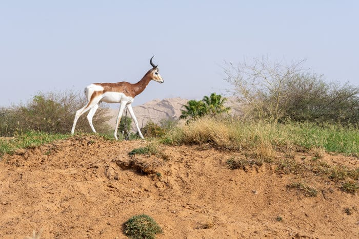 The dama gazelle, or mhorr gazelle, is a critically endangered antelope species from the Sahara region of Africa
