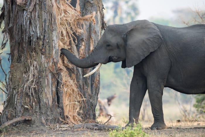 Elephant eating the bark of a Baobab tree