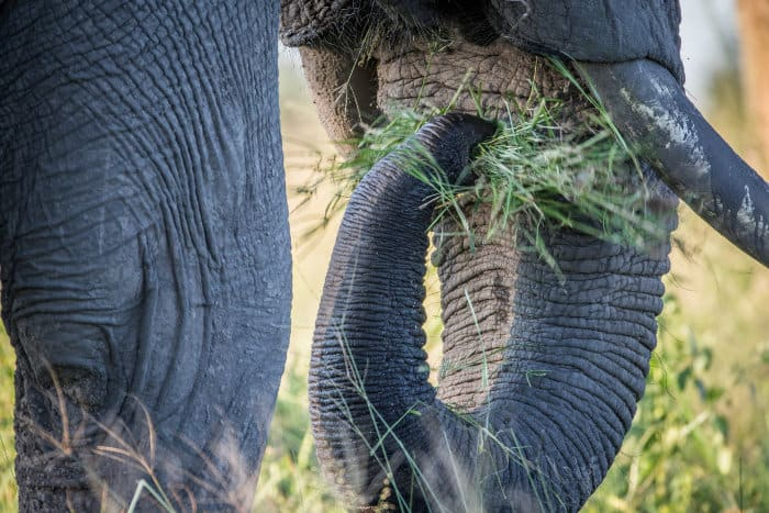 Close-up of an elephant eating grass with its trunk, in Chobe