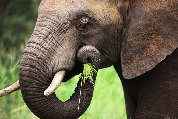 Elephant eating green grass