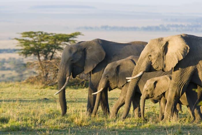 Elephant herd on the Masai Mara plains