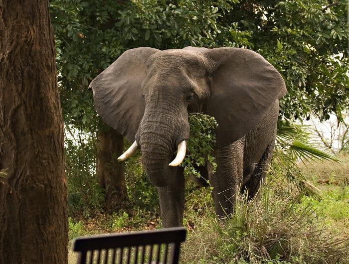 Elephant right outside a lodge in Lower Zambezi