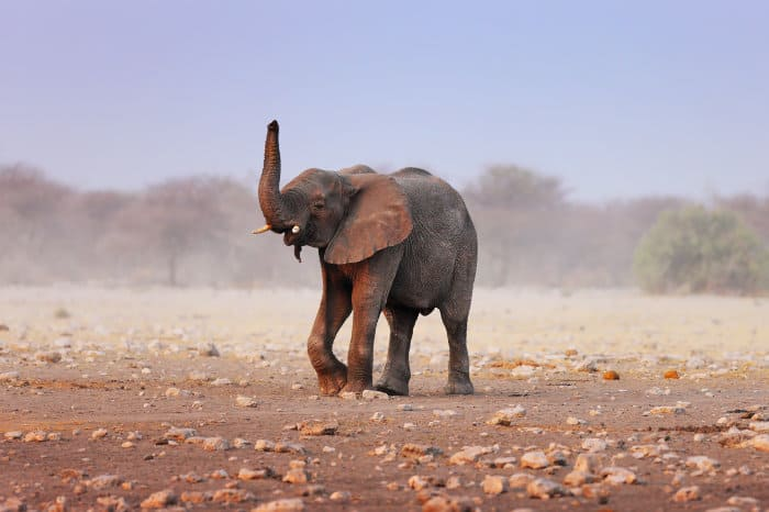 Elephant lifts its trunk to smell the ambient air