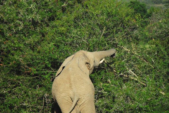 Elephant tearing down a sweet thorn acacia
