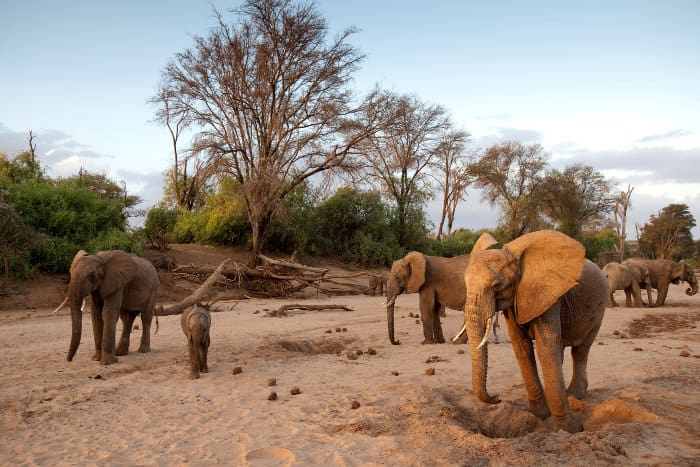 Elephants digging for water in a dry river bed, Kenya
