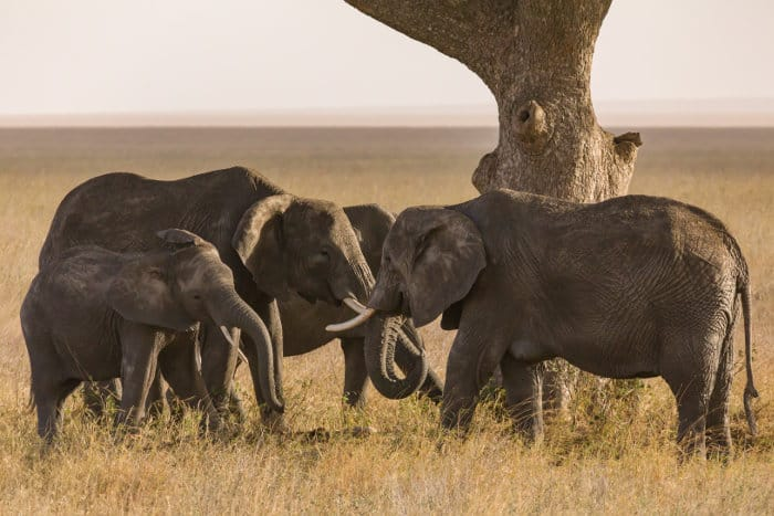 Elephants gather under an acacia tree to mourn dead relative remains