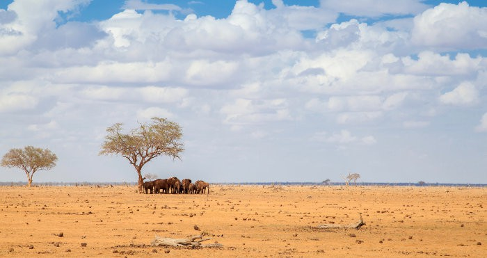 Herd of elephants rest under a tree in very dry land
