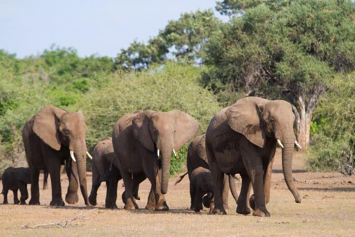 Herd of African elephants walking in a single file, following the matriarch