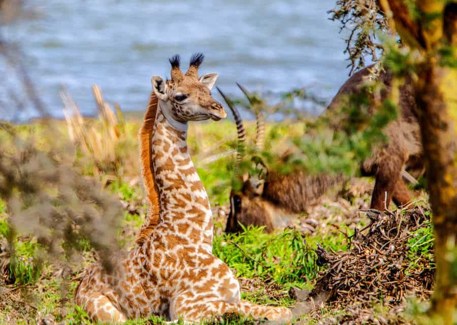 What is a baby giraffe called?