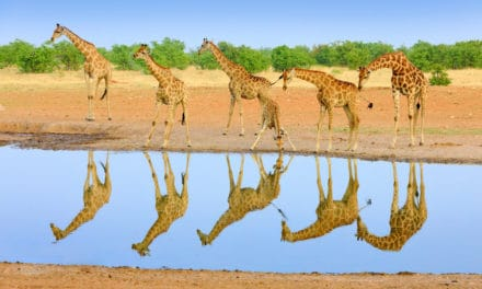 How tall are giraffes?
