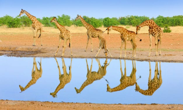 How tall are giraffes?