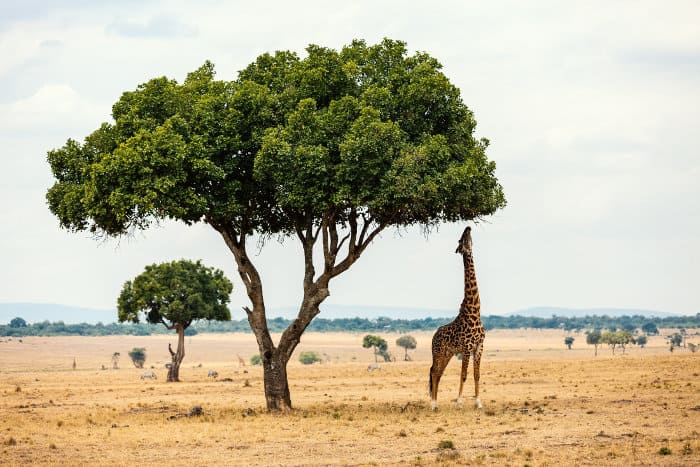 Masai giraffe stretching its neck to reach the leaves of a large tree