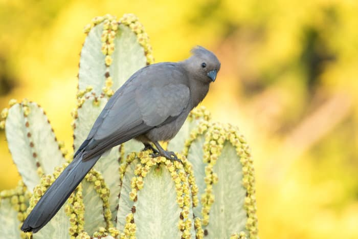 Grey lourie perched on a flowering candelabra tree