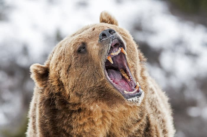 Grizzly bear roaring as a warning