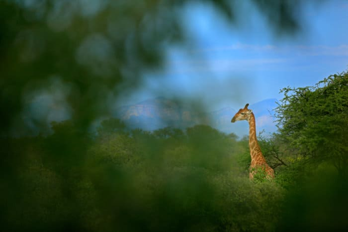 A giraffe's neck sticks out of green vegetation, with mountains in the background
