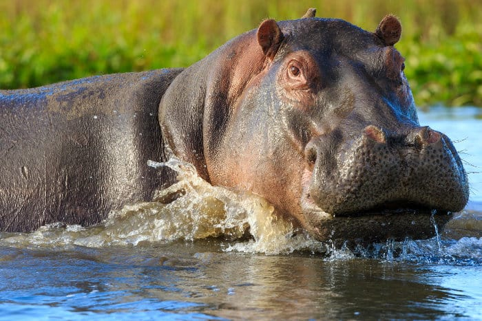 Hippo in Liwonde National Park, Malawi