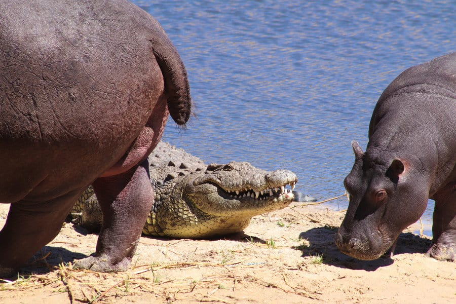 Hippo farts – The loudest of them all?