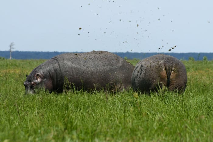 "Hippos spreading ""a cloud of dung"" with their tail"