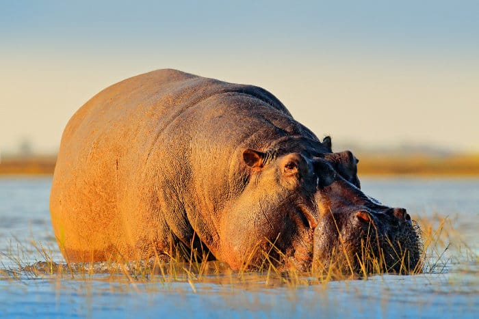 Huge fat hippo in late afternoon sunlight, Chobe