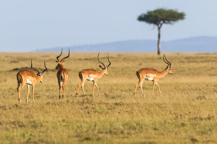 Bachelor herd of impala walking on the African grasslands