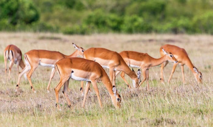 Herd of impala grazing on the African plains