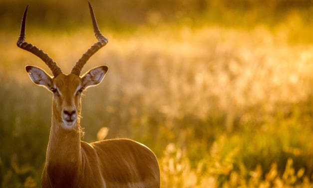 Impala – The facts behind an African animal beauty