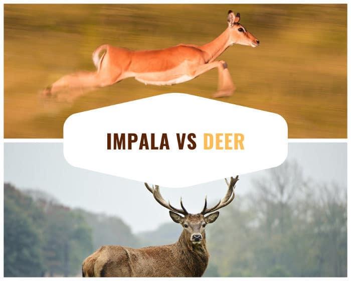 Impala vs deer