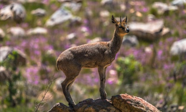 11 facts about the klipspringer – Africa's dancing antelope