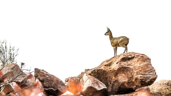 Klipspringer standing majestically on a rock