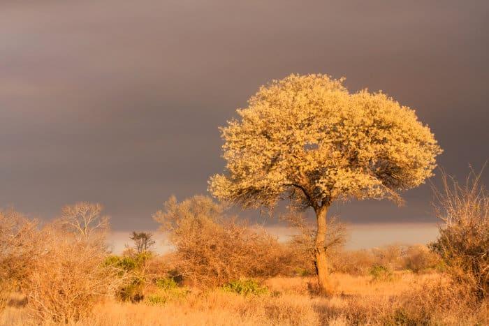 Knobthorn tree in full flower bloom, Kruger National Park