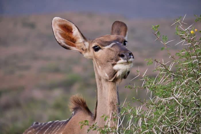 Female kudu feeding off sweet thorn acacia leaves