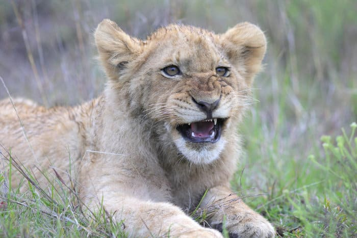 Lion cub showing off its teeth