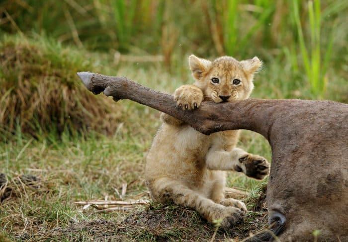 Baby lion holding tight onto wildebeest leg