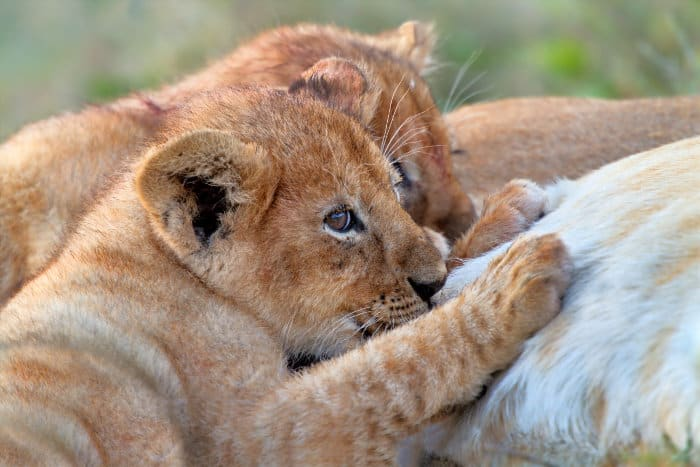 Two cute lion cubs drinking milk from their mother