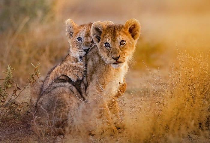 Lion cubs family portrait