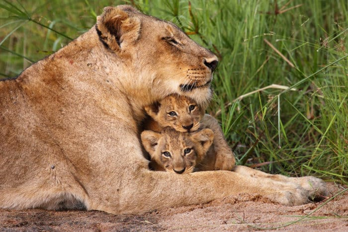Cute cuddly moment between a lioness and her two cubs