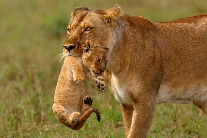 Lioness carries one of her newborn cubs to a safer place in the Masai Mara