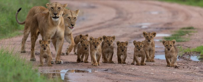 Large group of lion cubs with their moms