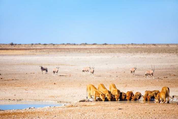 Pride of lions drinking at the Nebrownii waterhole in Etosha