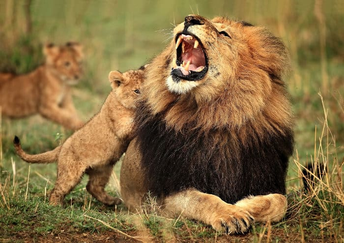 Male lion and cub playing