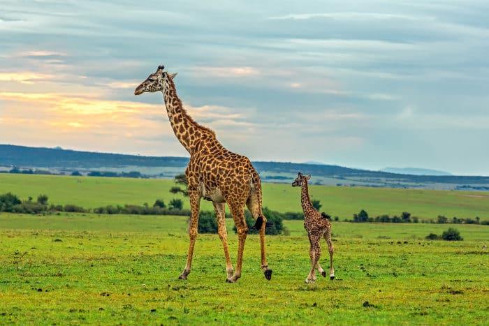 Mother giraffe and her calf walking peacefully, in the Masai Mara