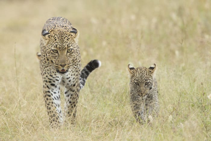 Mother leopard and cub walking in the African savanna, Serengeti