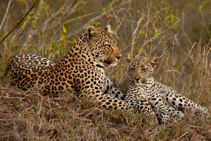 Perfect leopard family portrait