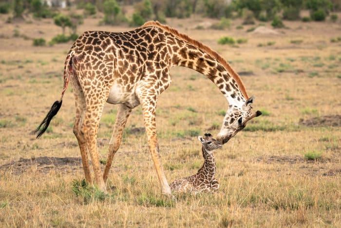 Mother giraffe bends down to take care of her newborn calf