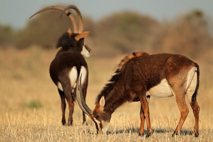 Pair of sable antelope, South Africa