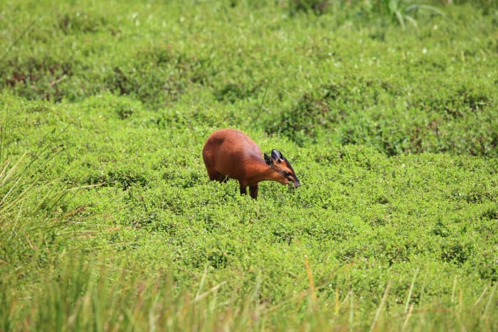 Red forest duiker feeding in Nyungwe National Park