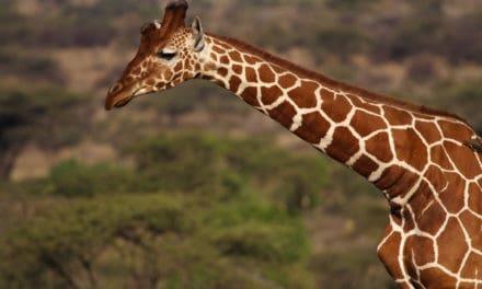 Discover the rare reticulated giraffe