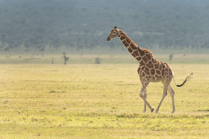 Lone reticulated giraffe strolling across a plain in Ol Pejeta Conservancy