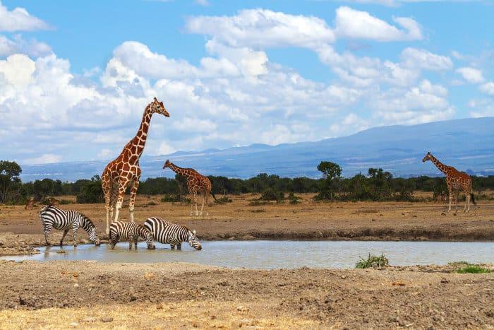 Reticulated giraffe and zebra at a local waterhole in Ol Pejeta Conservancy