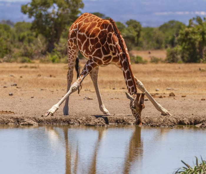 A reticulated giraffe spreads its front legs and lowers its head to the water's surface to take a drink